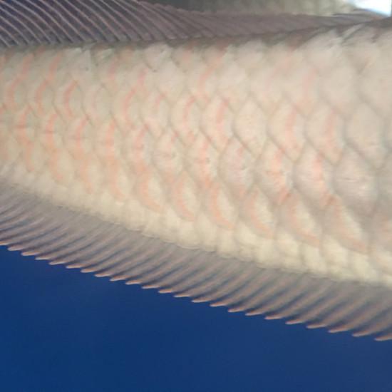 60cm左右银龙的鳞片,有红色的框,[qiang] 天津龙鱼论坛 天津龙鱼第1张