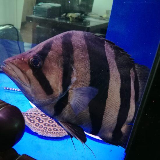 朋友说这黑帝漂亮!有赞同的么?#魟鱼# 天津观赏鱼 天津龙鱼第3张