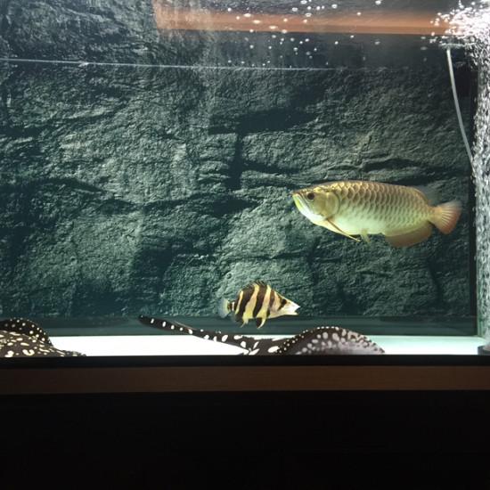 鱼缸34度龙不吃食了 天津龙鱼论坛 天津龙鱼第1张