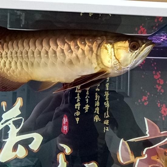 虽然不值钱,但是我喜欢。 天津龙鱼论坛 天津龙鱼第2张
