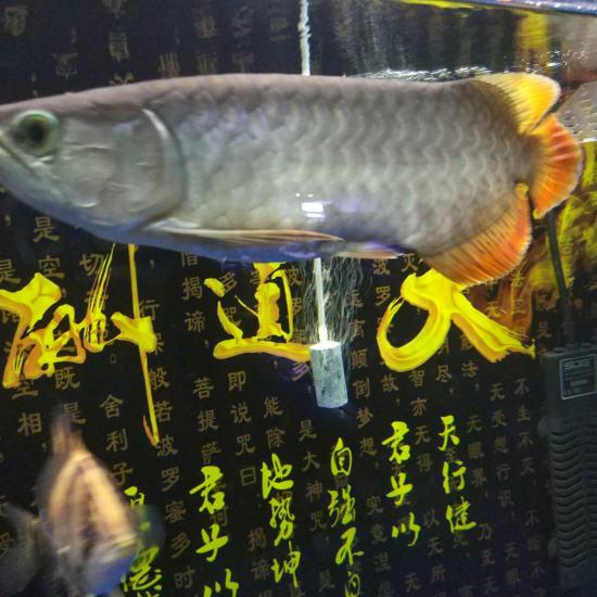 #龙鱼#这个还有前途吗?[daku] 天津龙鱼论坛 天津龙鱼第2张