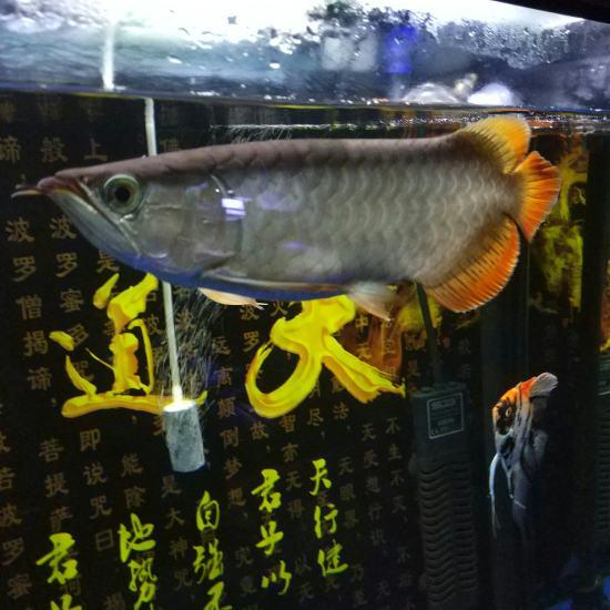 #龙鱼#这个还有前途吗?[daku] 天津龙鱼论坛 天津龙鱼第3张