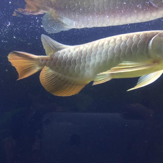 这是红尾金还是高背金龙? 天津观赏鱼 天津龙鱼第1张