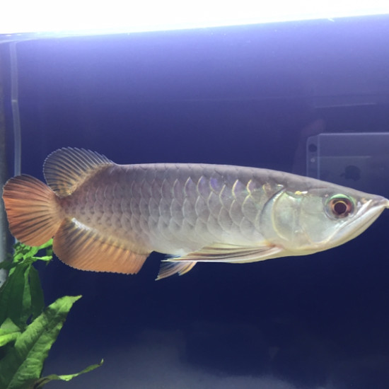 这是红尾金还是高背金龙? 天津观赏鱼 天津龙鱼第2张
