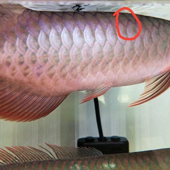 天津二手水族箱各位大神,帮我看看我的红龙鳞片上出现了一个白点,刚发现原来没有,是 天津观赏鱼 天津龙鱼第1张