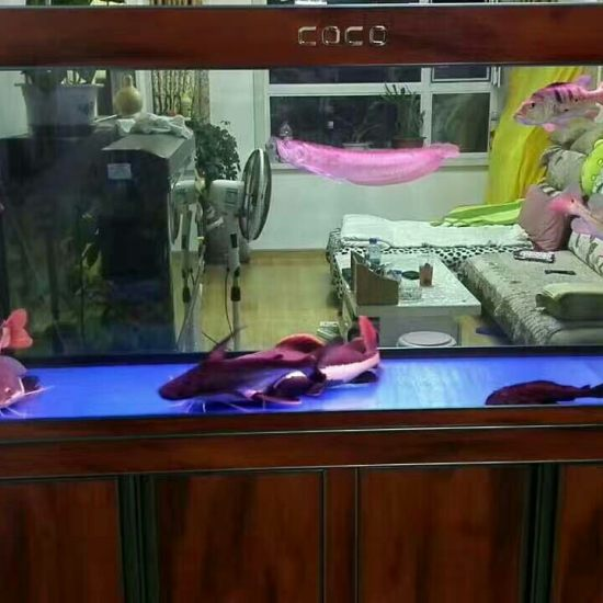 天津哪买的龙鱼好军哥专利带鱼马桶的鱼缸 天津龙鱼论坛 天津龙鱼第1张