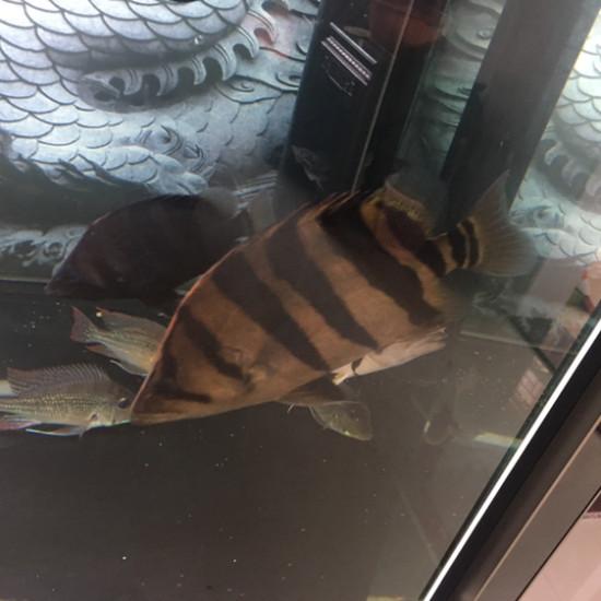虎进黑缸就变红了 天津观赏鱼 天津龙鱼第1张