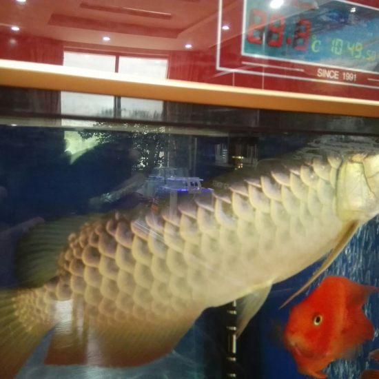 请各位大神鉴定天津哪里有卖观赏鱼的一下,这是什么品种?无灯光,手机拍的。 天津观赏鱼 天津龙鱼第1张