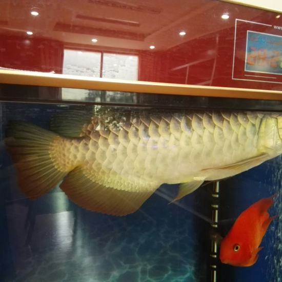请各位大神鉴定天津哪里有卖观赏鱼的一下,这是什么品种?无灯光,手机拍的。 天津观赏鱼 天津龙鱼第2张