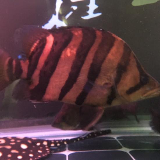 三条虎,银虎却肥得像猪一样。 天津龙鱼论坛 天津龙鱼第4张