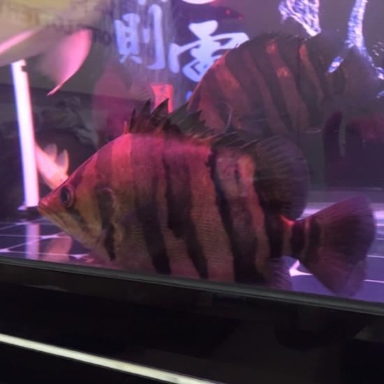 三条虎,银虎却肥得像猪一样。 天津龙鱼论坛 天津龙鱼第5张