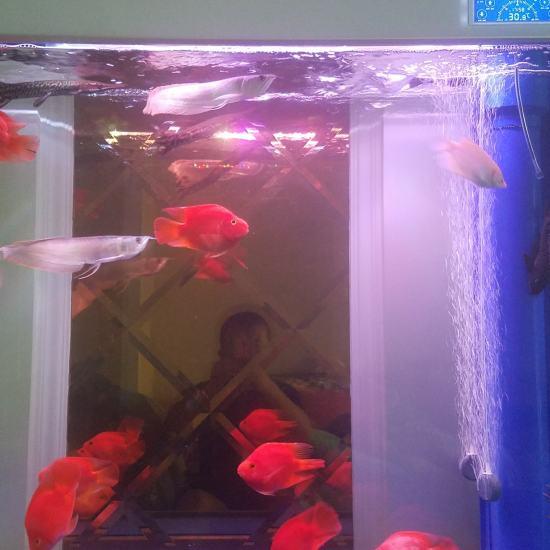 后面玻璃是黄的,我感觉接近空气缸,准备淘汰一批鱼,入手红龙或金龙,大神们给点建议 天津龙鱼论坛