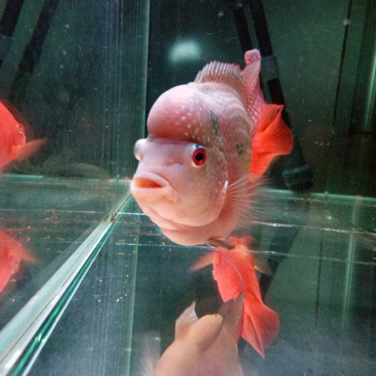 [shuai]我的罗汉属于什么品种啊,13.5㎝了,头还能长大吗?怎么才能让头大 天津观赏鱼 天津龙鱼第2张