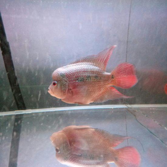 [shuai]我的罗汉属于什么品种啊,13.5㎝了,头还能长大吗?怎么才能让头大 天津观赏鱼 天津龙鱼第3张