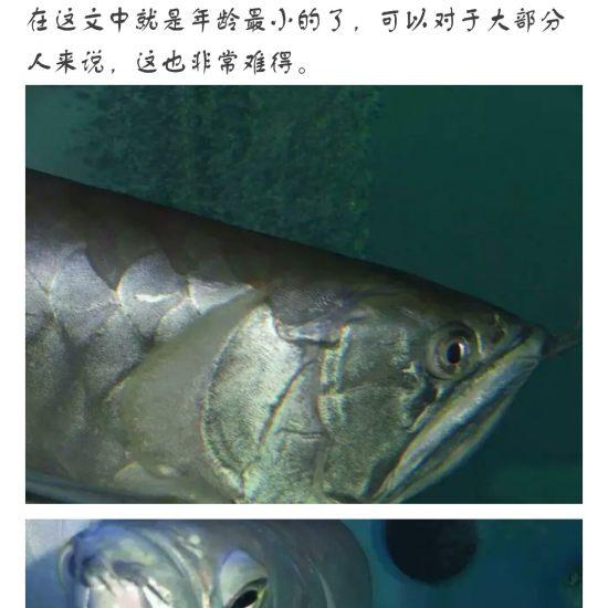 #龙鱼#看着?渐渐的老去,鱼友们,你们有何感想[pizui][pizui] 天津观赏鱼 天津龙鱼第1张