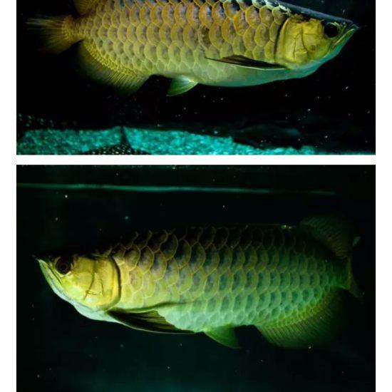 #龙鱼#看着?渐渐的老去,鱼友们,你们有何感想[pizui][pizui] 天津观赏鱼 天津龙鱼第3张