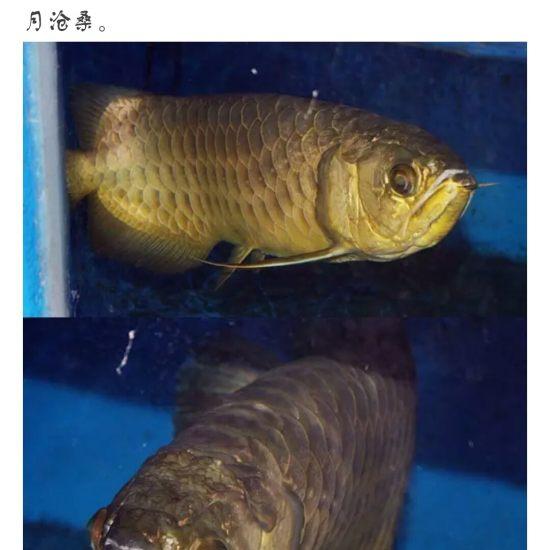 #龙鱼#看着?渐渐的老去,鱼友们,你们有何感想[pizui][pizui] 天津观赏鱼 天津龙鱼第4张