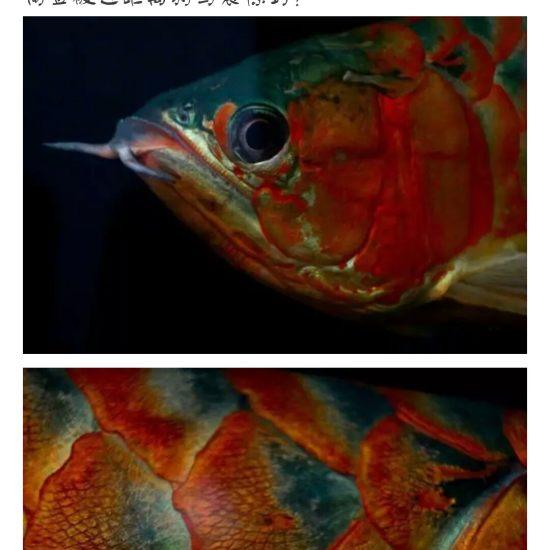 #龙鱼#看着?渐渐的老去,鱼友们,你们有何感想[pizui][pizui] 天津观赏鱼 天津龙鱼第5张