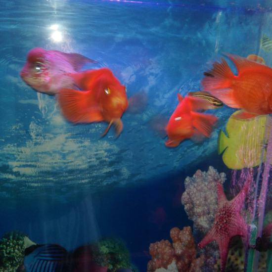 鱼友们大家早晨好:请欣赏一下我的爱鱼喽! 天津观赏鱼 天津龙鱼第2张