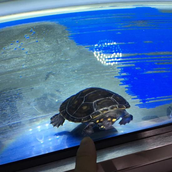 怎么我的黄头龟壳变黑了 天津观赏鱼 天津龙鱼第1张