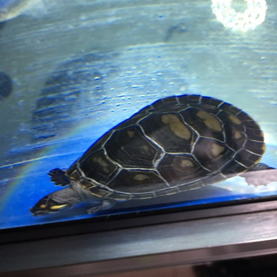 怎么我的黄头龟壳变黑了 天津观赏鱼 天津龙鱼第2张