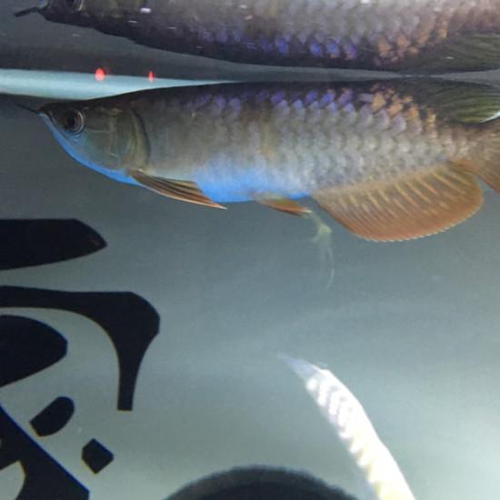 怎么我的黄头龟壳变黑了 天津观赏鱼 天津龙鱼第4张