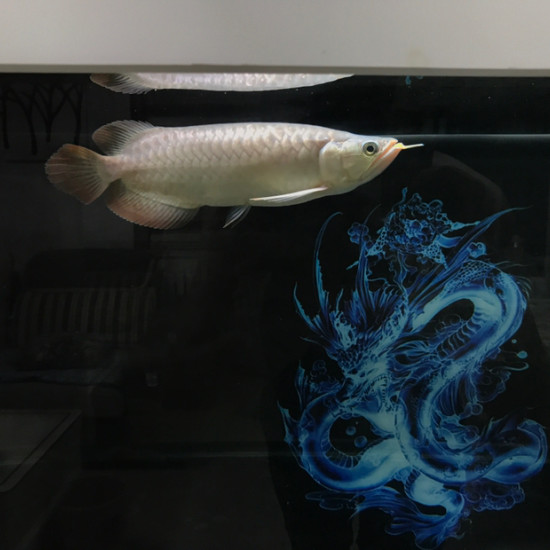 加了侧灯和没加侧灯对比 天津观赏鱼 天津龙鱼第2张