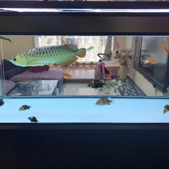 陪我度过了两年的金龙[tiaopi] 天津观赏鱼 天津龙鱼第4张