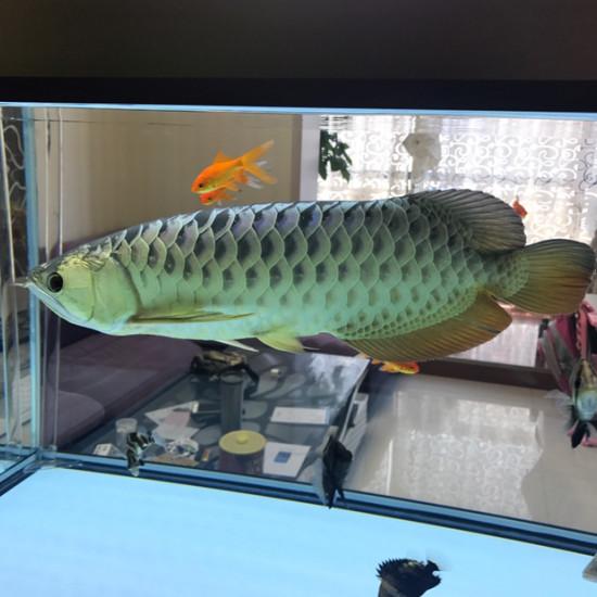 陪我度过了两年的金龙[tiaopi] 天津观赏鱼 天津龙鱼第3张