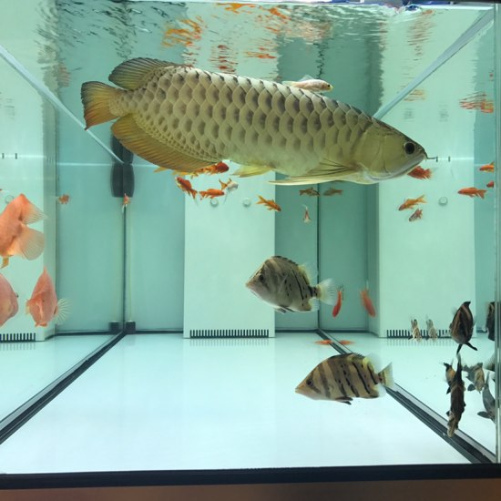陪我度过了两年的金龙[tiaopi] 天津观赏鱼 天津龙鱼第2张