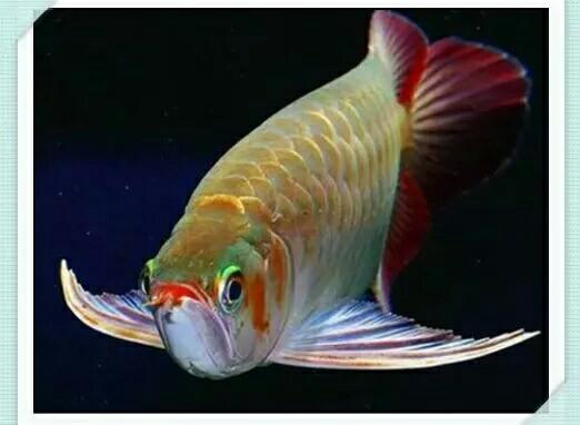 济南虎鱼有几种龙鱼为什么有时候会排白便? 济南龙鱼论坛