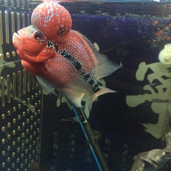 太原二手龙鱼转让拉线最好的一条、头也还可以! 太原观赏鱼 太原龙鱼第2张