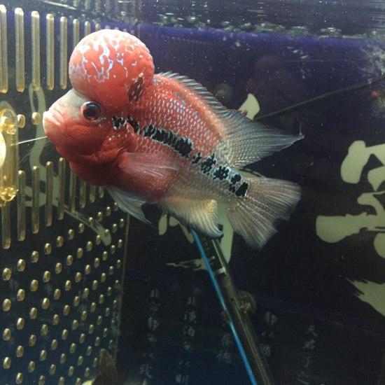 太原二手龙鱼转让拉线最好的一条、头也还可以! 太原观赏鱼 太原龙鱼第1张