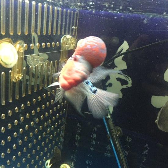 太原二手龙鱼转让拉线最好的一条、头也还可以! 太原观赏鱼 太原龙鱼第4张