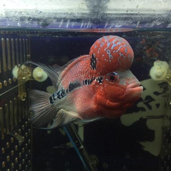 太原二手龙鱼转让拉线最好的一条、头也还可以! 太原观赏鱼 太原龙鱼第6张