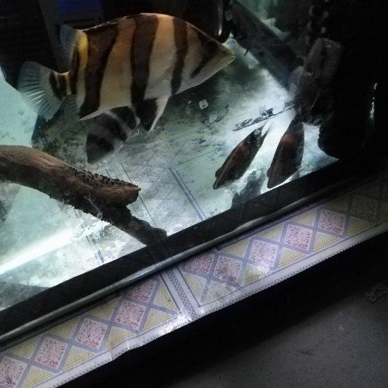 早上好,分享小虎苗。 温州龙鱼论坛 温州龙鱼第1张