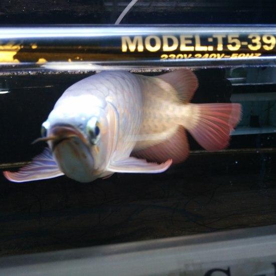 2A21缸我们金星渔场每一条鱼都有这么完美的体态即使不开红灯也能透露出他的美。。 温州水族批发市场 温州龙鱼第3张