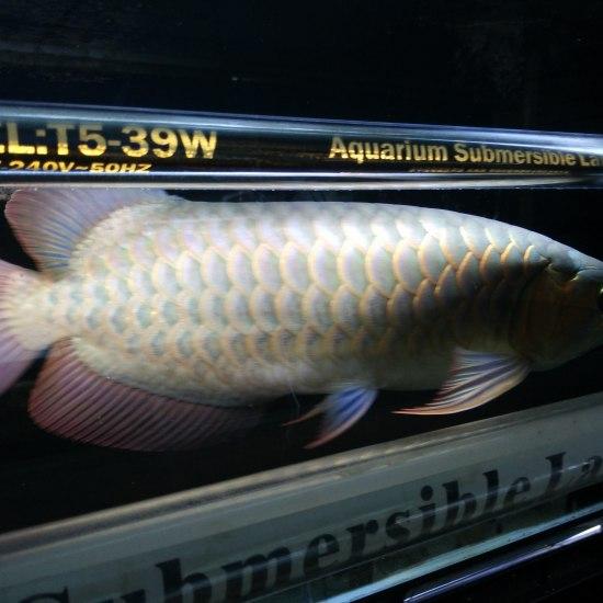 2A21缸我们金星渔场每一条鱼都有这么完美的体态即使不开红灯也能透露出他的美。。 温州水族批发市场 温州龙鱼第2张