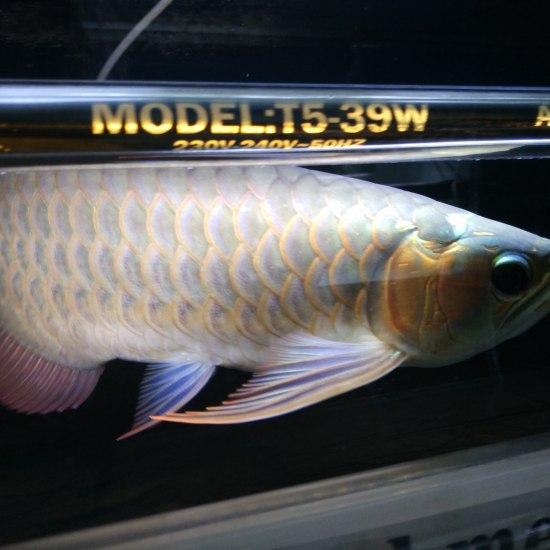 2A21缸我们金星渔场每一条鱼都有这么完美的体态即使不开红灯也能透露出他的美。。 温州水族批发市场 温州龙鱼第1张