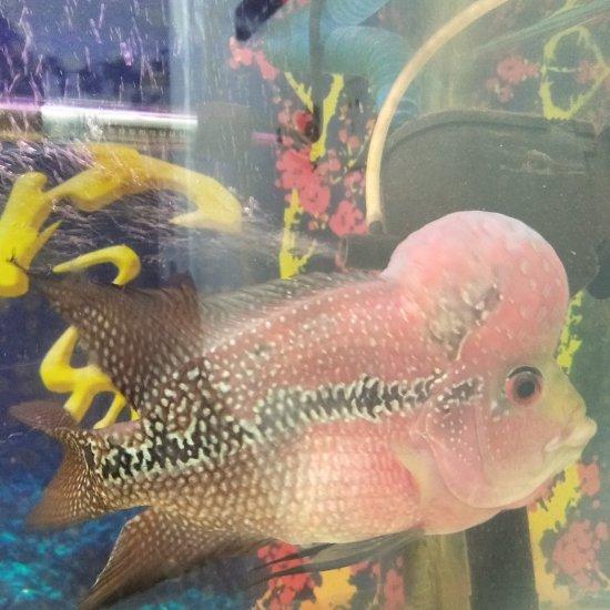 自家养的鸿运因为家里事物繁忙,无法照顾,特此出售,有喜欢的鱼友联系,望善待 温州龙鱼论坛 温州龙鱼第4张