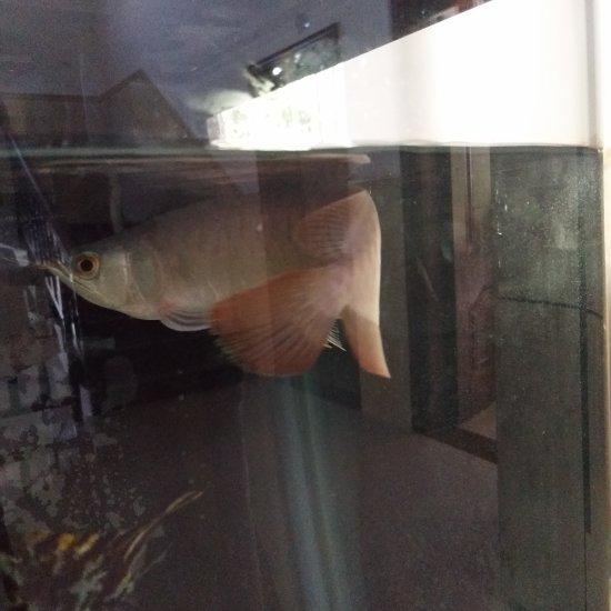 龙鱼伙食两斤海虾去头去尾还有1斤3两 太原观赏鱼 太原龙鱼第4张