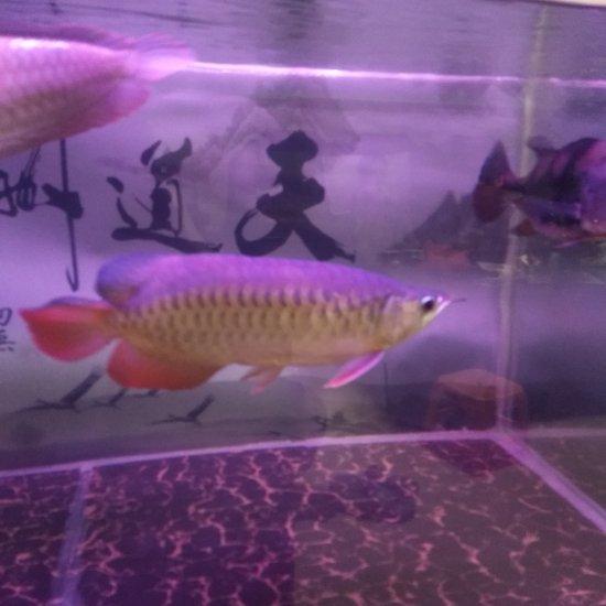 龙鱼伙食两斤海虾去头去尾还有1斤3两 太原观赏鱼 太原龙鱼第2张