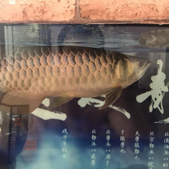变化#龙鱼# 温州龙鱼论坛 温州龙鱼第1张