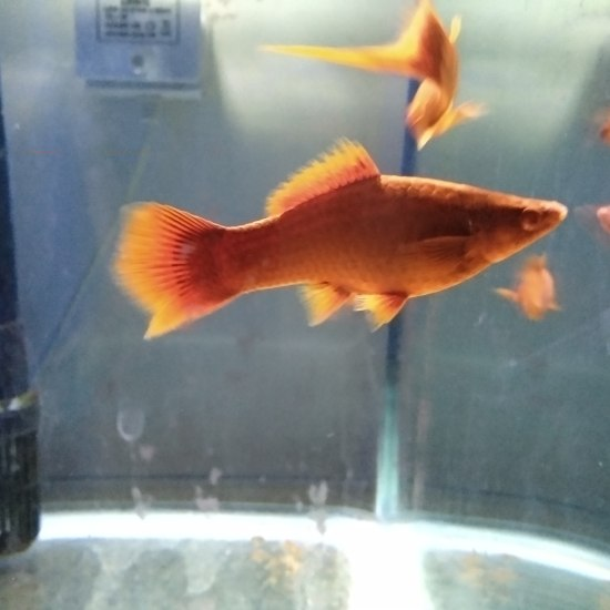 养一缸这个也挺好的 温州龙鱼论坛 温州龙鱼第1张