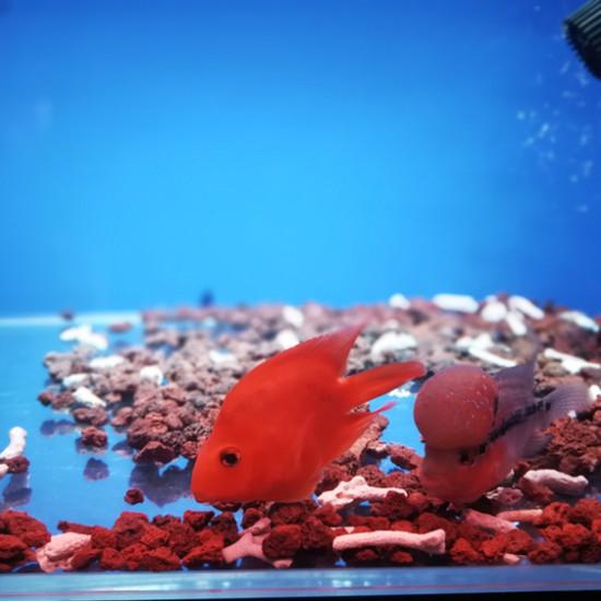 #我的爱人我的鱼#七夕还是爱我的鱼,祝朋友们七夕快乐,今天约会别忘了喂鱼哦[ba