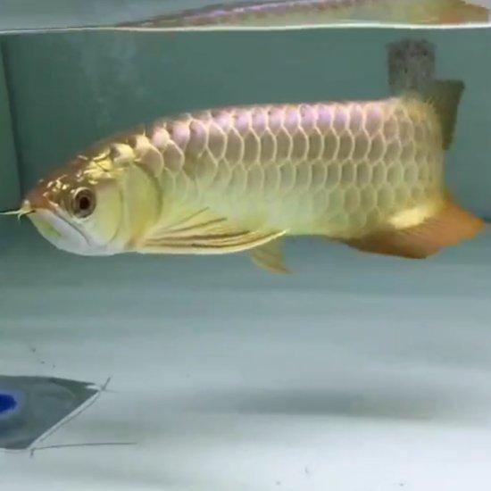 #我的爱人我的鱼# 最爱的人 最爱的鱼!!!!!!!!! 温州水族批发市场 温州龙鱼第4张
