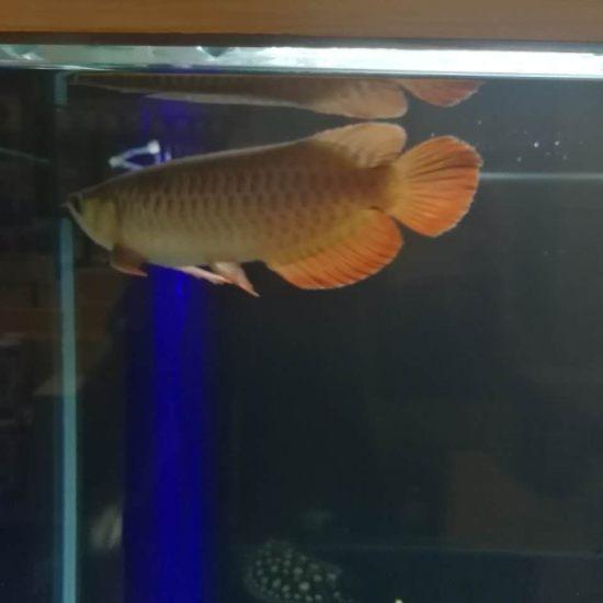 太原热带鱼请问大家,我这条红龙,是号半么?我看着马蹄印很明显,目前30公分, 太原观赏鱼 太原龙鱼第2张