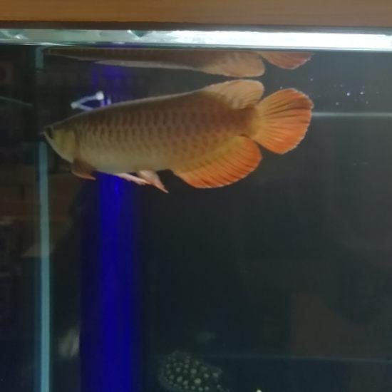 太原热带鱼请问大家,我这条红龙,是号半么?我看着马蹄印很明显,目前30公分, 太原观赏鱼 太原龙鱼第4张