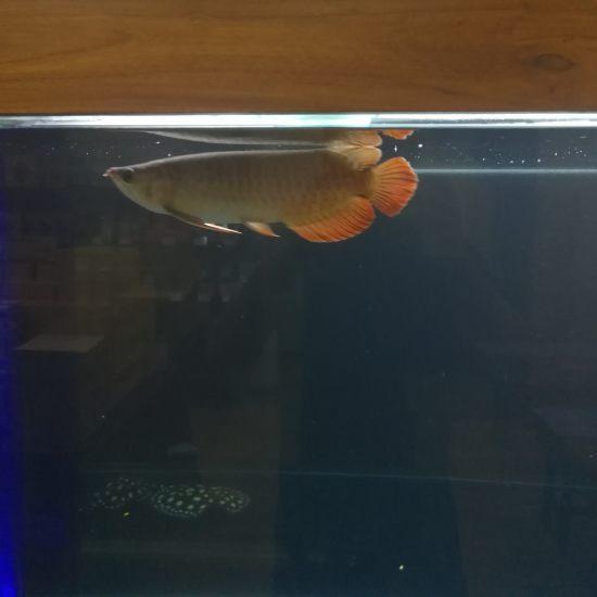 太原热带鱼请问大家,我这条红龙,是号半么?我看着马蹄印很明显,目前30公分, 太原观赏鱼 太原龙鱼第6张