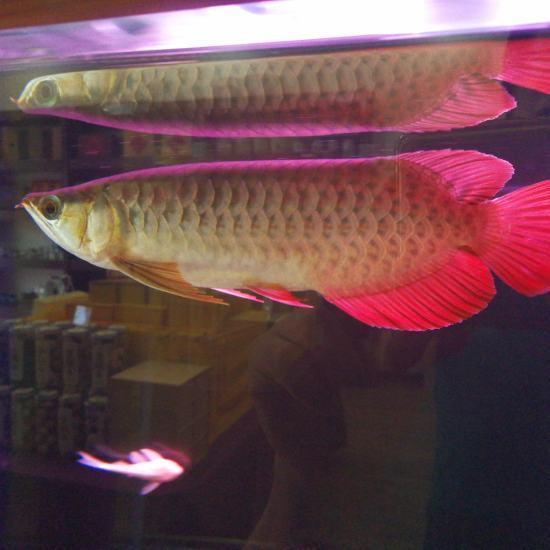 太原热带鱼请问大家,我这条红龙,是号半么?我看着马蹄印很明显,目前30公分, 太原观赏鱼 太原龙鱼第7张